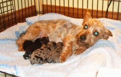 A shaved, tan dog is laying across a blanket in a dog crate with a litter of Silkyhuahua puppies. Two of the pups are merle and three are dark in color.