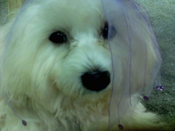 Close up head shot - A white Skypoo dog is laying on a carpet and its head is covered in purple lace frill.