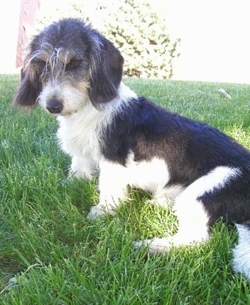 The left side of a low to the ground, short legged, long bodied, black and white Small Swiss Hound dog is sitting in grass looking down and to the left. It has longer wiry looking hair on its head and ends of the ears.