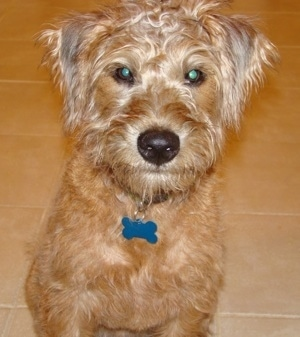Front view - A tan Soft Coated Wheaten Terrier is sitting on a tiled floor and it is looking forward.