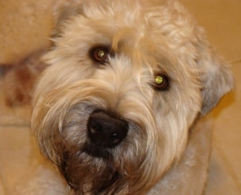 Close up head shot - A tan Soft Coated Wheaten Terrier is sitting on a tiled floor and it is looking up.