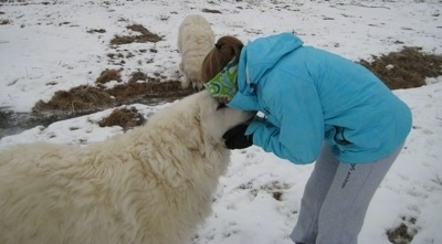 The right side of a white Great Pyrenees that is being hugged by a girl in a blue coat. Behind them is another Great Pyrenees is drinking water from a stream.