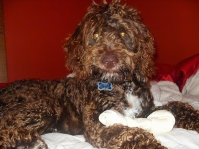 Close up side view - The right side of a shiny, thick, wavy coated, chocolate with white Springerdoodle that is laying across a bed. There is a bone in front of its paws.