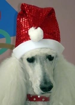 Close up head shot - A white Standard Poodle dog is sitting down looking forward and it is wearing a Christmas Sanda hat. It has thick long hair on its ears.