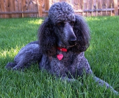 A thick coated, blue Standard Poodle dog laying across a grass surface looking to the right. There is a wooden privacy fence behind it.