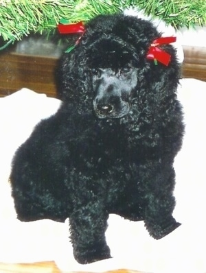 Close up front view - A shiny coated, blue Standard Poodle puppy sitting on a blanket, it has two red ribbons in over its ears, it is looking down and to the left.