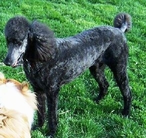 The front left side of a shiny-coated, blue Standard Poodle dog laying across a grass surface and in front of it is a tan with white dog.
