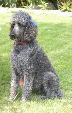 Front side view - A blue Standard Poodle dog sitting across a grass surface. It has two blue ribbons above its ears, a red collar and it is looking to the left.