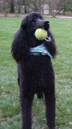 Front view - A black Standard Poodle dog is wearing a blue bandana chewing on a tennis ball. It has long hair on its ears.