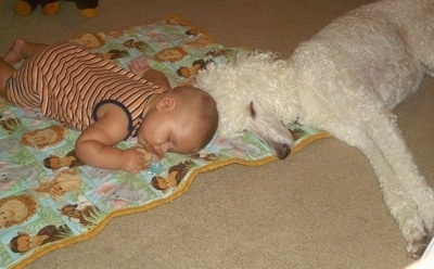 A white Standard Poodle dog sleeping across a carpet and on top of blanket that a baby is sleeping on top of. The dog and the baby are head to head.