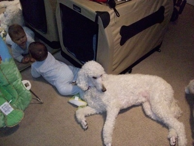 A white with tan Standard Poodle dog laying across a carpeted floor looking to the right. There is a toddler to the left of it looking at itself in a mirror.