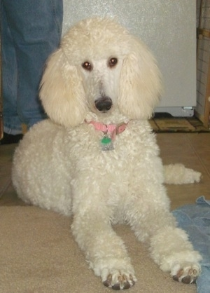 Front side view - A white Standard Poodle dog laying on a carpet looking forward. There is a person in blue jeans standing behind it.
