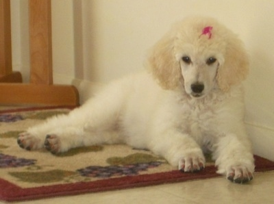 Front side view - A white Standard Poodle puppy is laying on a rug and against the wall behind it. It has a pink ribbon in its hair.
