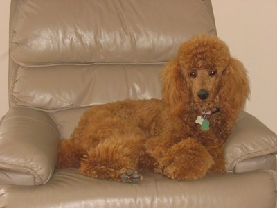 A thick coated, fluffy, red Standard Poodle dog laying across a tan recliner chair and it is looking forward. The dog has shorter hair on its snout and a black nose.
