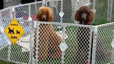 Two tall adult Standard Poodles sitting in a pen and they are looking forward. One dog is brown and the other is red in color.
