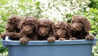 A blue plastic bin of Standard Poodle puppies that are jumped up on the side.