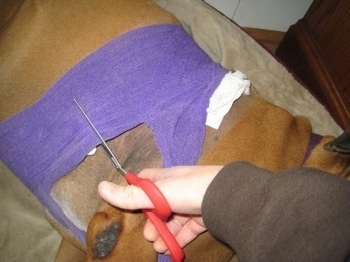 A Person is cutting the purple wrap off of Allie the Boxer with scissors