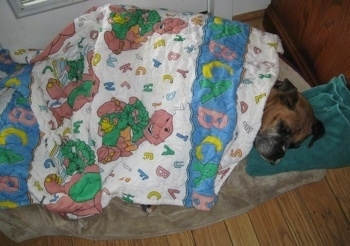 Allie the Boxer is sleeping in a dog bed and covered in a Barney the Purple Dinosaur alphabet blanket and her head is on a green towel