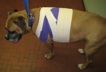 Allie the Boxer standing in the vet's office wrapped in purple and white bandages around her waist