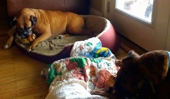Allie and Bruno the Boxer in there respective dog beds chewing on hoofs