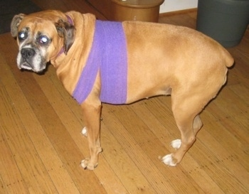 Allie the Boxer is standing on a hardwood floor and looking towards the camera holder with purple wrap around the front of her legs and upper chest area