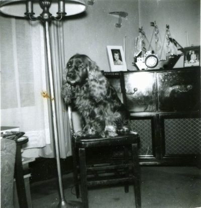 A black and white photo of a Sussex Spaniel dog that is sitting on a tall chair under a lamp and it is looking to the left. The dog has long soft ears.