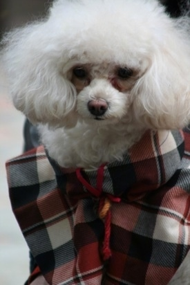 Close up - A soft white Teacup Poodle dog wearing a shirt and it is looking forward. The dog has a brown nose.