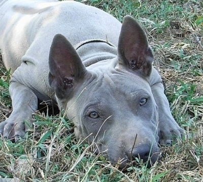 Close up front view - A gray Thai Ridgeback dog is laying down in grass and it is looking forward. It has large perk ears, gray eyes, a big black noes and a short coat with extra skin.