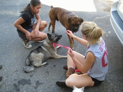 A blonde-haired girl is sitting on a blacktop surface and in front of her is a black, grey and white Norwegian Elkhound dog that is laying and looking at her hand. Walking towards her is a brindle Boxer. Across from them is a brown haired girl kneeling on the blacktop surface.