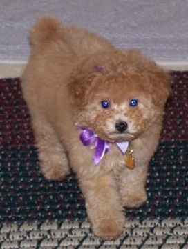 Abby, the AKC Apricot Toy Poodle at 9 weeks and 2.8 pounds (1.2 kg.)