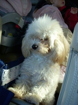 The front left side of a fluffy little white with tan Toy Poodle that is standing up against the door inside of a car. It has a black nose.