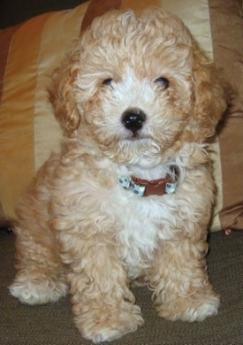 A tan and white Toy Poodle puppy is sitting on a tiled floor and it is looking forward. It has a wavy coat and a black nose.