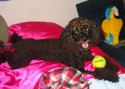 The right side of a fluffy, curly coated, black with brown Toy Poodle dog laying across a bed that has hot pink blankets on it with a tennis ball in its front paws looking forward with its head slightly tilted to the left and it looks like it is smiling.