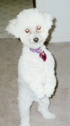 A white Toy Poodle dog standing on its hind legs with its front paws hanging down in front of it on top of a tan carpet and it is looking forward. The dog has a purple collar and a black nose with round eyes that are glowing yellow.