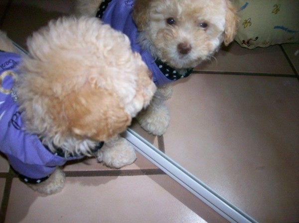 Top down view of a Toy Poodle puppy wearing a purple shirt looking at itself in a mirror. The little dog has a black nose, a wavy thick coat and round black eyes.