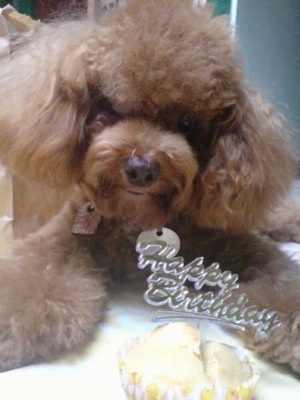 Close up front view head shot - A teased-out, fluffy coated, red Toy Poodle dog laying down on a bed, its head is tilted to the right and there is a cupcake in front of it and there is a clear plastic sign sticking out of the cupcake that reads - Happy Birthday.