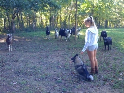 A blonde-haired girl is standing next to a sitting black, grey and white Norwegian Elkhound. There is a herd of goats across from them.