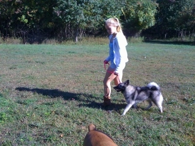 A blonde-haired girl is leading a black, grey and white Norwegian Elkhound on a walk across a field.