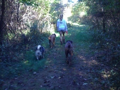 The back of three dogs that are being led on a walk on a trail in the woods by a blonde-haired girl.