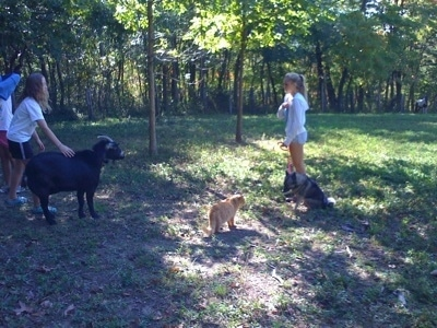 A girl in a white shirt is petting the side of a black with white Goat. Across from them is a blonde-haired girl that is holding the leash of a black, grey and white Norwegian Elkhound that is sitting in grass. There is an orange cat standing in front of them.