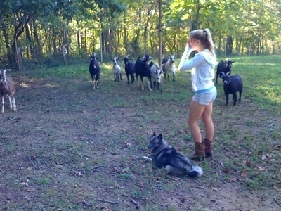 A blonde-haired girl is standing next to a black, grey and white Norwegian Elkhound that is laying in grass and looking to the left. There is a herd of goats across from them.