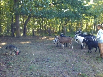 A black, grey and white Norwegian Elkhound is standing and smelling the ground. Across from them is a herd of goats and next to them is a blonde-haired girl.