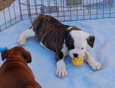 The right side of a brindle and white Valley Bulldog puppy that is laying across snow and it has a yellow with red ball in its mouth. Across from it is another Valley Bulldog puppy walking around. The dog is really thick and tubby.