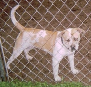 The left side of a white and red Vanguard Bulldog standing across a dirt surface and it is looking through the chain link fence in front of it. The dog has a big head, a wide muzzle, a thick body and it is holding its long thick tail up in the air.