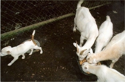 Top down view of a white with red Vanguard Bulldog puppy that is walking away from four white goats eating food out of a bowl.