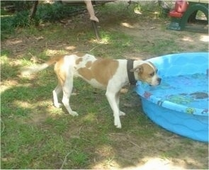 The right side of a red and white muscular Vanguard Bulldog that is standing at the edge of a kiddie pool filled with water.