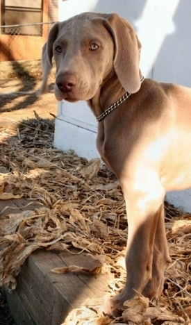 The left side of a Weimaraner puppy that is looking forward. It is standing next to a white building and is wearing a choke chain collar.