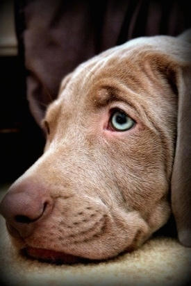 Close up - The head of a Weimaraner puppy that is laying down on a rug. The dog has silver-green eyes and wrinkles on its forehead.