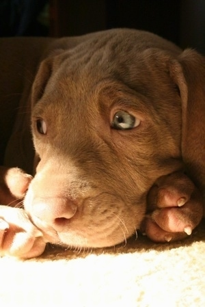 Close up - A brown Weimaraner Puppy that is laying on a carpet and it is looking to the left. The pup has green eyes and wrinkles on its forehead.