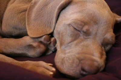 Close up - A brown Weimaraner puppy that is sleeping on a burgundy blanket. Its eyes are closed and it has soft ears that hang down to the sides.
